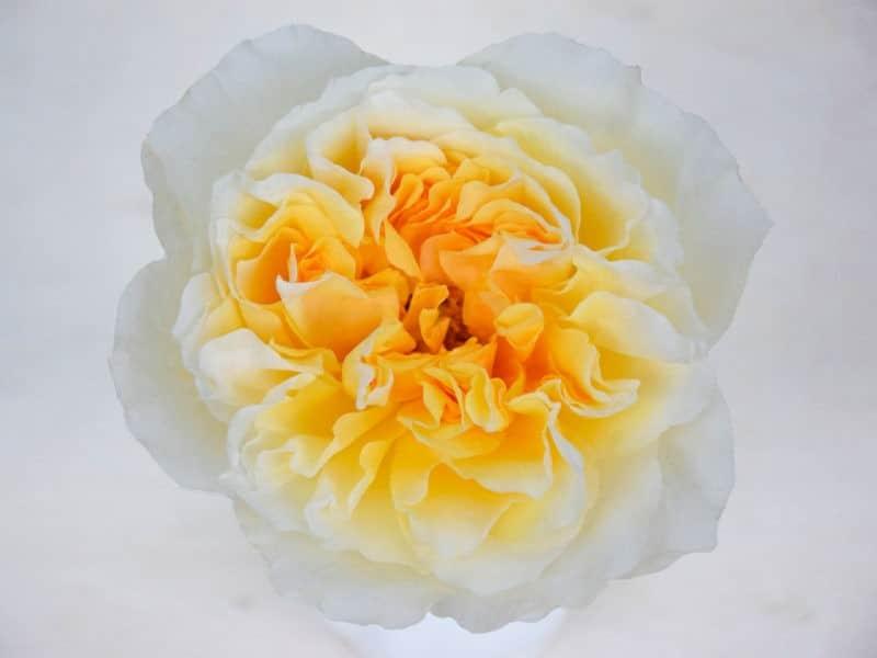 David Austin Wedding Rose Beatrice - Alexandra Farms