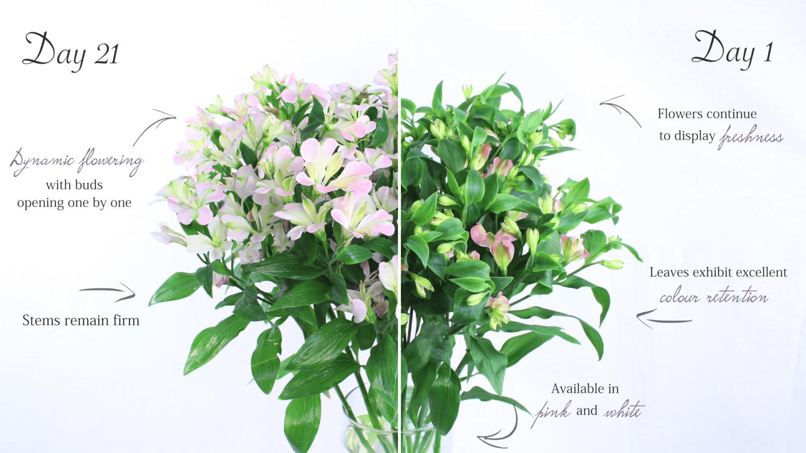 Charmelia Flower wholesaler